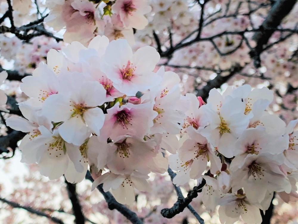 ❀桜の季節❀