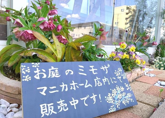 お庭のミモザ販売中╰(*´︶`*)╯♡
